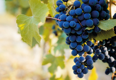 I vitigni autoctoni del Piemonte